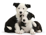 Two Black-And-White Border Collie Puppies Photographic Print by Mark Taylor