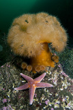 Common Starfish (Asterias Rubens) by a Large Anemone, Saltstraumen, Bodø, Norway, October 2008 Photographic Print by Lundgren