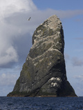 Northern Gannet (Morus Bassanus) Colony, St Kilda, Scotland, May 2009 Reproduction photographique par  Green