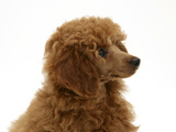 Red Toy Poodle Pup, Reggie, 12 Weeks Photographic Print by Mark Taylor