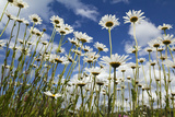 Marguerites (Leucanthemum Vulgare) in Flower, Eastern Slovakia, Europe, June 2009 Photographic Print by  Wothe