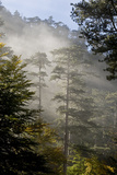 Rays of Light Shining Through Mist, Black Pines (Pinus Nigra) Crna Poda Nr, Durmitor Np, Montenegro Photographic Print by  Radisics