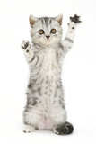 Silver Tabby Kitten with Paws Raised Photographic Print by Mark Taylor