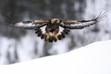 Golden Eagle (Aquila Chrysaetos) in Flight over Snow, Flatanger, Norway, November 2008 Photographic Print by  Widstrand