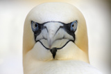 Gannet (Morus Bassanus) Head Portrait, Saltee Islands, Ireland, June 2009 Wwe Book Photographic Print by  Hermansen