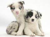 Merle Border Collie Puppies Photographic Print by Mark Taylor