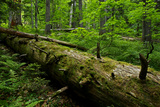 Fallen Nordmann Fir (Abies Nordmanniana) Tree, Teberdinsky Biosphere Reserve, Caucasus, Russia Photographic Print by  Schandy