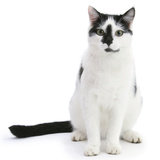 Black-And-White Cat, Pablo, Sitting Photographic Print by Mark Taylor