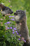 Alpine Marmots (Marmota Marmota) Feeding on Flowers, Hohe Tauern National Park, Austria, July 2008 Photographic Print by  Lesniewski