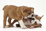 Two Playful Bulldog Puppies, 11 Weeks Photographic Print by Mark Taylor