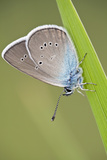 Blue Butterfly (Lycaenidae Sp) on Blade of Grass, Eastern Slovakia, Europe, June 2009 Photographic Print by  Wothe