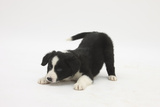Border Collie Puppy in a Play Bow Photographic Print by Mark Taylor
