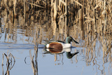 Northern Shoveler Drake (Anas Clypeata) in Waters of Flooded Marshland, Somerset Levels,Uk Photographic Print by Nick Upton