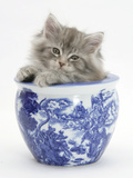 Maine Coon Kitten in a Blue China Pot Photographic Print by Mark Taylor