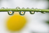 Mountain Daisy (Leucanthemum Adustum) Seen Multiple Times in Water Droplets on a Blade of Grass Photographic Print by  Giesbers