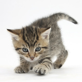 Playful Tabby Kitten, Stanley, 6 Weeks Photographic Print by Mark Taylor