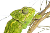 Common Chameleon (Chameleo Chameleo) in Retama Bush, Huelva, Andalucia, Spain, April 2009 Photographic Print by  Benvie