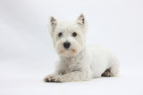 West Highland White Terrier Lying Lámina fotográfica por Mark Taylor
