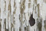 Lesser Horseshoe Bat Hibernating Amongst Stalactites, Grotta Monte Majore, Gennargentu Np, Sardinia Photographic Print by  Arndt