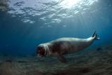 Male Monk Seal (Monachus Monachus) Deserta Grande, Desertas Islands, Madeira, Portugal Photographic Print by  Sá