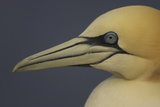 Northern Gannet (Morus Bassanus) Portrait, Saltee Islands, Ireland, May 2008 Photographic Print by  Green
