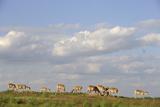 Saiga Antelope (Saiga Tatarica) Herd at Salt Lick, Cherniye Zemli(Black Earth) Nr, Kalmykia, Russia Photographic Print by  Shpilenok