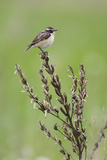Male Whinchat (Saxicola Saxicola) Perched, Lithuania, May 2009 Photographic Print by  Hamblin
