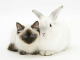 Ragdoll Kitten, 12 Weeks, with White Rabbit Photographic Print by Mark Taylor