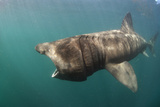 Basking Shark (Cetorhinus Maximus) Feeding, Mull, Scotland, June 2009 Photographic Print by  Sá