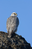 Female Gyrfalcon (Falco Rusticolus) on Rock, Myvatn, Thingeyjarsyslur, Iceland, April 2009 Photographic Print by  Bergmann