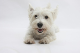 West Highland White Terrier Lying Photographic Print by Mark Taylor
