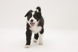 Border Collie Walking with Tongue Out Photographic Print by Mark Taylor