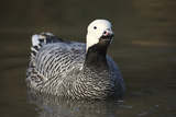 Emperor Goose (Chen Canagica) UK Photographic Print by Mark Taylor