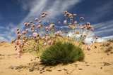 Thrift (Armeria Pungens) in Flower on Beach, Alentejo, Portugal Photographic Print by  Quinta