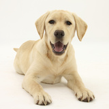 Yellow Labrador Retriever Puppy, 5 Months Photographic Print by Mark Taylor