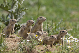 European Souslik (Spermophilus Citellus) Family, East Slovakia, Europe, June 2008 Photographic Print by  Wothe