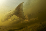Atlantic Salmon (Salmo Salar) Migrating Upstream to Spawn, Umeälven, Sweden, July 2009 Photographic Print by  Roggo