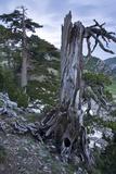 Bosinian Pine (Pinus Leucodermis) Dead Trunk, Pollino National Park, Basilicata, Italy, May 2009 Photographic Print by  Müller