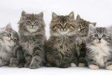 Five Maine Coon Kittens, 8 Weeks Photographic Print by Mark Taylor