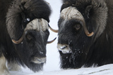 Two Muskox (Ovibos Moschatus) in Snow, Dovrefjell National Park, Norway, February 2009 Photographic Print by  Munier