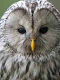 Ural Owl (Strix Uralensis) Portrait, Bergslagen, Sweden, June 2009 Photographic Print by  Cairns