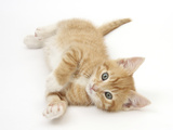 Ginger Kitten Rolling on His Back Photographic Print by Mark Taylor