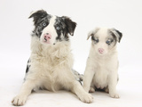 Merle Border Collie Dog with Puppy, 6 Weeks Photographic Print by Mark Taylor