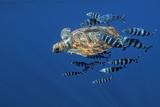 Loggerhead Turtle (Caretta Caretta) with a Shoal of Pilot Fish (Naucrates Ductor) Azores, Portugal Photographic Print by  Lundgren