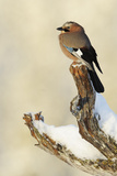 Eurasian Jay (Garrulus Glandarius) Perched on Branch in Snow, Flatanger, Norway, November 2008 Photographic Print by  Widstrand