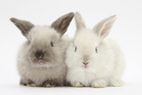 White and Grey Baby Rabbits Photographic Print by Mark Taylor