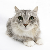 Maine Coon Cat, Bambi Photographic Print by Mark Taylor