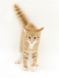 Ginger Kitten with Tail in the Air Photographic Print by Mark Taylor