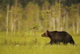 European Brown Bear (Ursus Arctos) Kuhmo, Finland, July 2009 Photographic Print by  Widstrand
