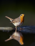 Robin (Erithacus Rubecula) at Water, Pusztaszer, Hungary, May 2008 Photographic Print by  Varesvuo